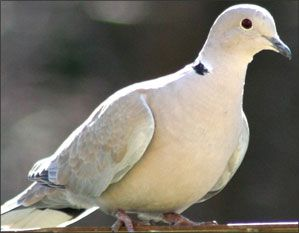 Ringneck Dove - Love to hear them coo.