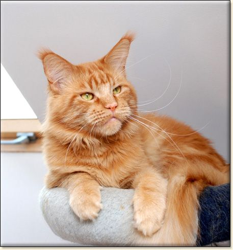 #MaineCoon #Red #Solid #Cats ELPHINSTONE NUCLEAR EXPLOSION