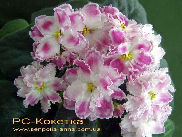 ❤️~African Violet/ Saintpaulia~❤️~Plant/ RS-KOKIETKA /beautiful, New Russian #AfricanViolet