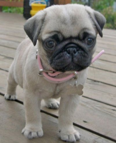 Pretty in pinkPugs Puppies, Pug Puppies, Small Dogs,  Pug-Dog, Pets, Pugs Pugs, Daily Puppies, Pugs Life, Animal