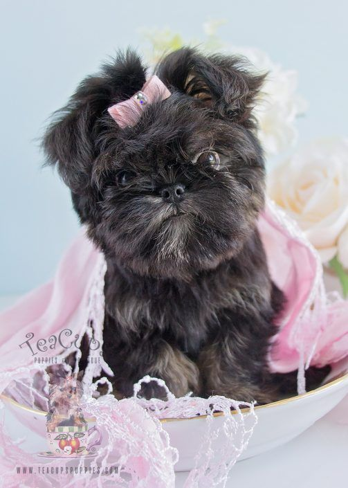 Brussels Griffon Puppy For-Sale 187 Teacup Puppies