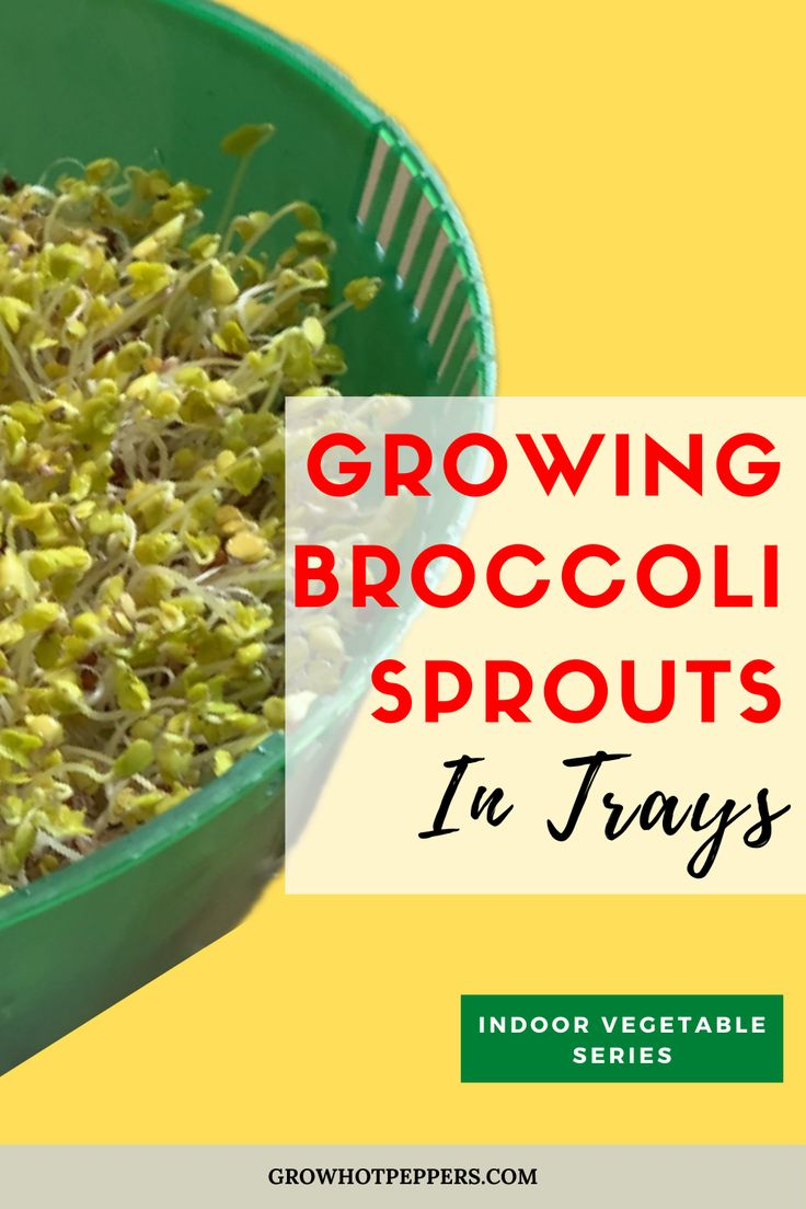 Growing broccoli sprouts in trays is like sprouting in