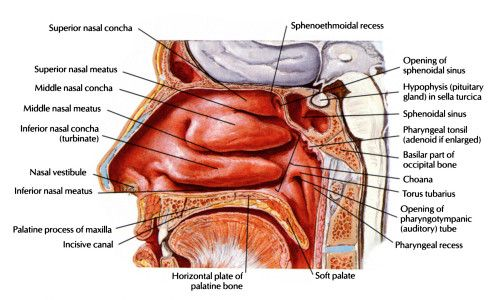 Anatomy Physiology of Nose, Nasal and Paranasal Sinus