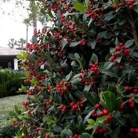 Burford Holly Shrub http://www.tytyga.com/Burford-Holly-p/burford-holly-shrub.htm