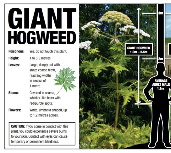 DANGER!! The plant is commonly known as Giant Hogweed, (Heracleum Mantegazzianum), but you might know it as cartwheel-flower, giant cow parsnip, cow parsley, hogsbane, wild parsnip or wild rhurbarb, but this plant is no friend. Be aware this plant is in the USA and IS spreading rapidly.