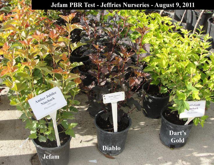 107 best images about ninebark shrub on pinterest glow. Black Bedroom Furniture Sets. Home Design Ideas
