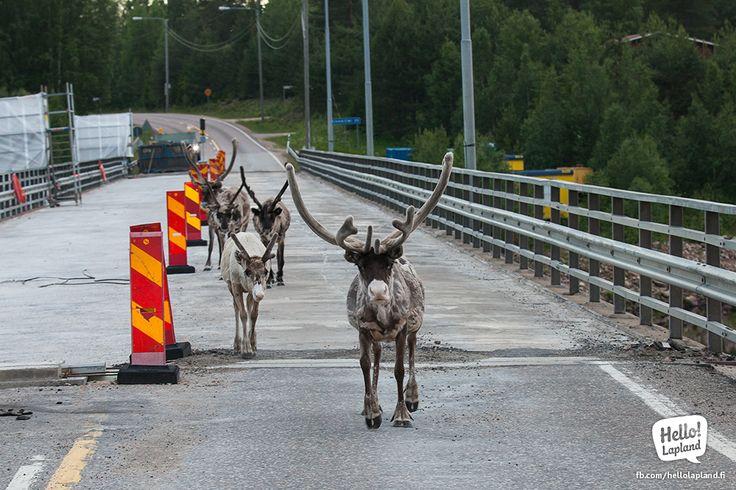 Reindeer crossing the bridge in Meltaus, Middle of Lapland.
