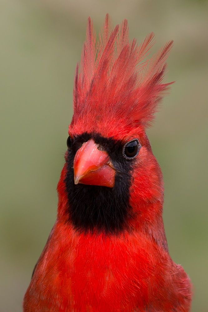 Northern Cardinal portrait. - title Red Mohawk