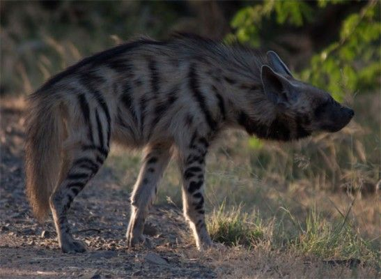 Striped-hyena-India