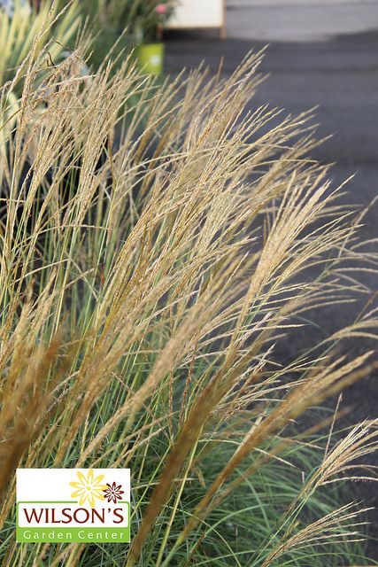 12 best images about perennial grasses on pinterest for Maiden fountain grass