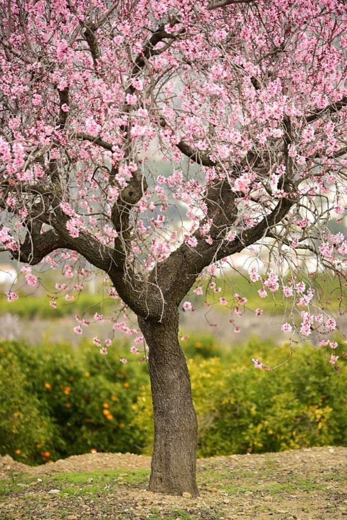 Pin By Louise Price On Mis Pelis Favoritas Wallpaper Nature Flowers Spring Scenery Cherry Blossom Art