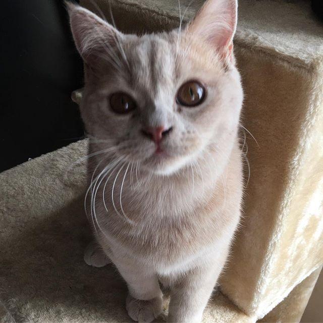 ・ ・ おはよう☀ ・ 朝晩寒いけど昼間は温かくなりそう👏 今日もよろしくね😸 ・ ・ #ブリティッシュショートヘア #ブリショー #愛猫 #愛猫同好会 #猫 #ねこ #ねこすたぐらむ #ねこ部 #ねこ好き #ねことの暮らし #関西ねこ部 #もふもふ #ふわもこ部 #にゃんこ #にゃんこ部 #多頭飼い #cat #cats #catlover #catstagram #catsofinstagram #instacat #cute #family #britishcat #britishshorthair