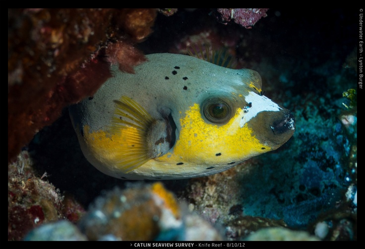 184 best puffer fish images on pinterest ocean creatures for Dog face puffer fish