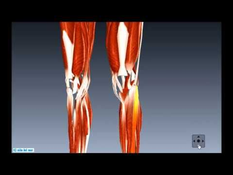 How many muscles are in the lower body