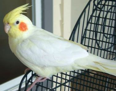 17 best images about parrot on pinterest beautiful for Cocktail yellow bird