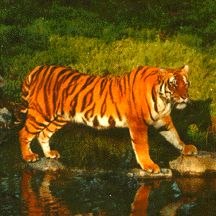 best endangered tigers ideas why are tigers endangered tigers > worldessay net index php