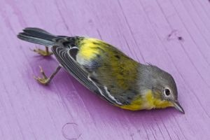 Bird Strike: deaths caused by collisions with buildings severely dent populations - The Ecologist