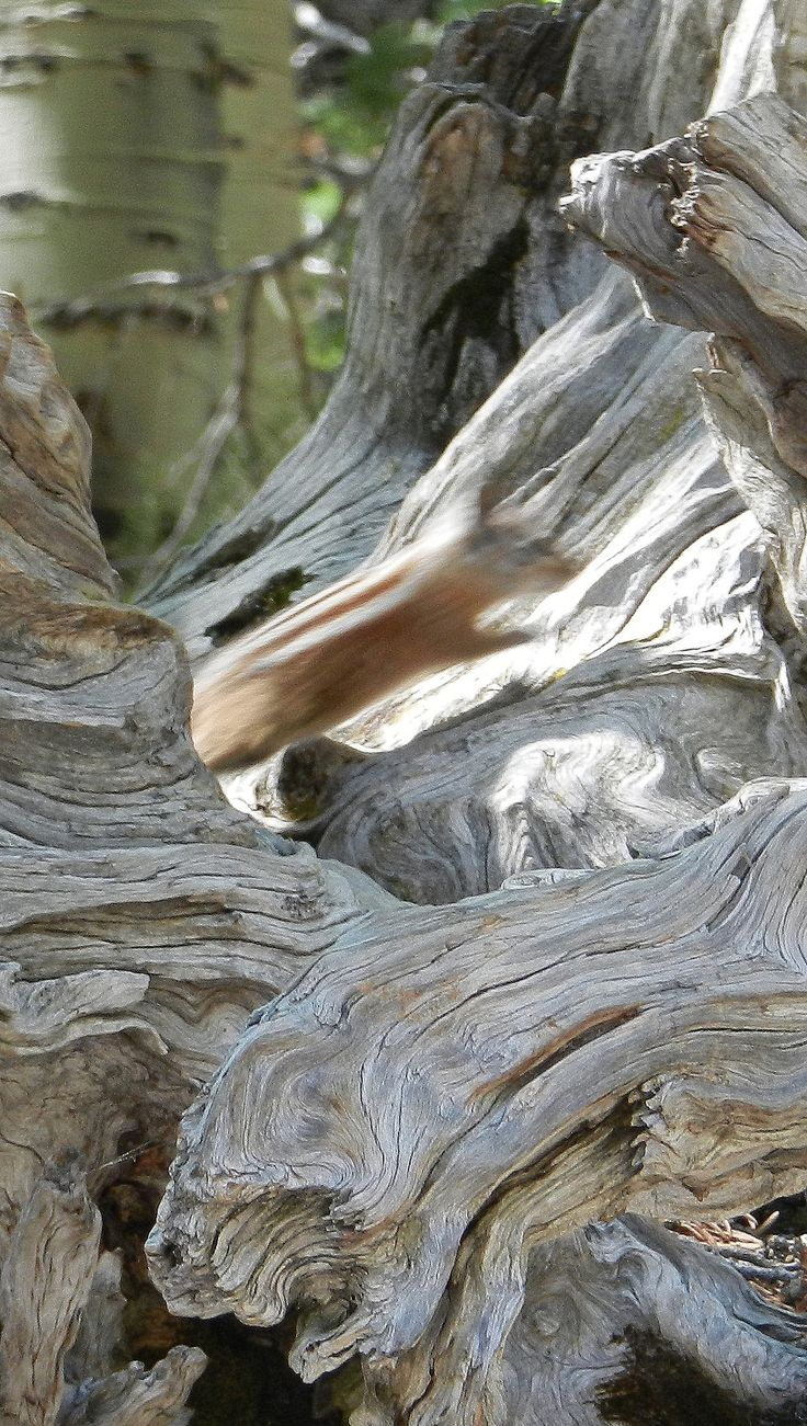 This was as clear of a picture as I could get of this Palmer's chipmunk, endemic to Mt. Charleston. He was hiding in this amazing deadwood root. Read about my hike at: vegas-girl.blogspot.com/2015/07/hiking-bristlecone-trail....