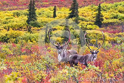 A Pair Of Caribou In Autumn In Denali National Park In Alaska - Download From Over 50 Million High Quality Stock Photos, Images, Vectors. Sign up for FREE today. Image: 34435855