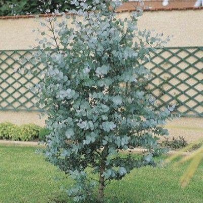 L'Eucalyptus 'Baby Blue'  Cette variété d'Eucalyptus a un petit développement. Elle est odorante. Vous pouvez la placer dans un endroit abrité du froid. Il se comporte très bien en bord de mer. Le beau feuillage persistant est bleu-vert, odorant et rond. Sur une même branche, il y a plusieurs étages de feuilles reliées par le centre avec une tige.  L'Eucalyptus 'Baby Blue' possède une floraison blanche-jaune à l'aisselle des feuilles.