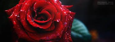 Image result for facebook profile picture rose