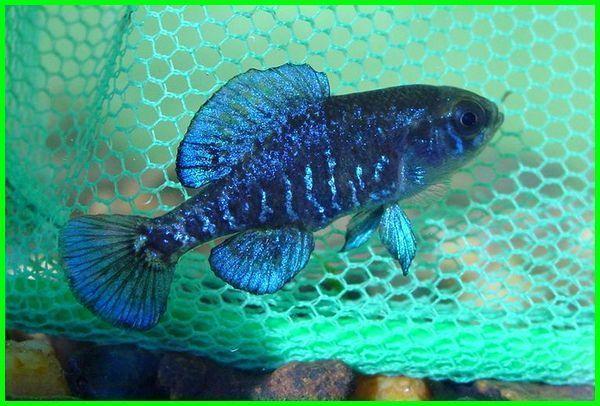 10 Jenis Ikan Hias Air Tawar Berukuran Kecil | Ikan, Ikan ...