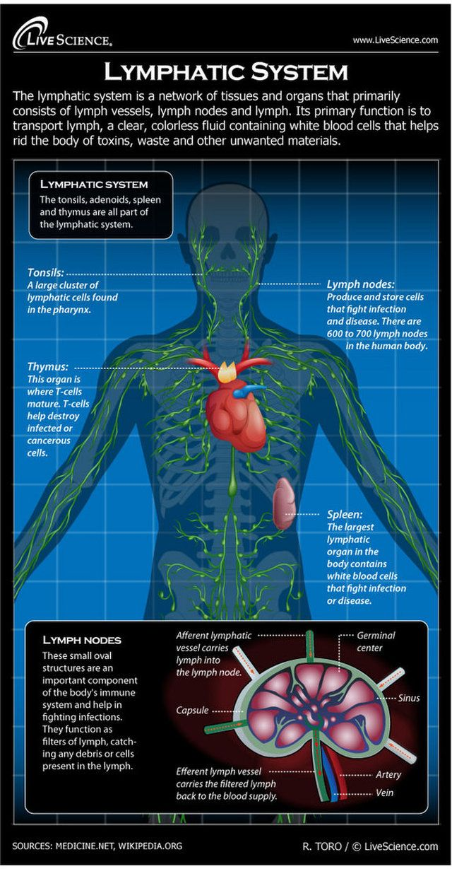 the lymphatic system helps keep the body healthy by eliminating infections and diseases  [ 640 x 1229 Pixel ]