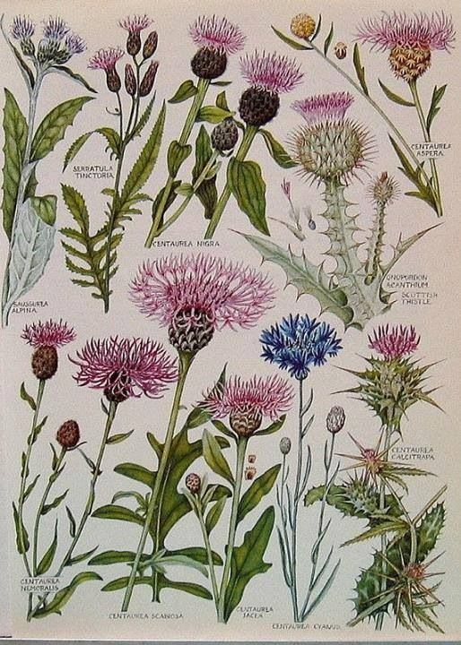 1965 British Flowers Vintage Book Plate: Scottish Thistle, Milk Thistle, Star Thistle, p49