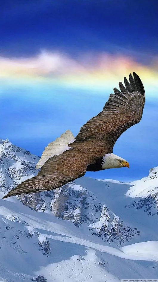 """The Eagle Soars."" Bald eagle"
