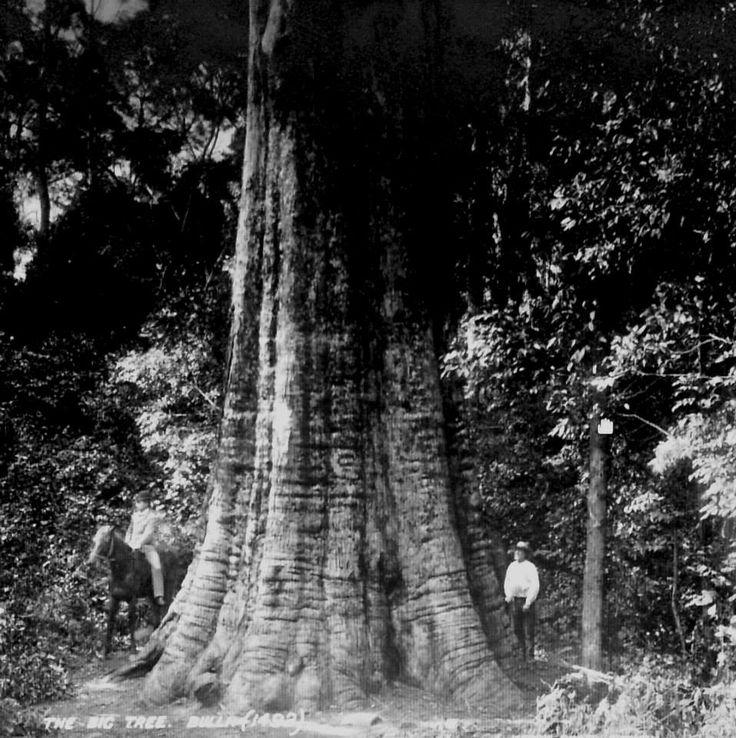 """1891 """"Big Bulli Tree"""" -blackbutt.  Height - 57' 6""""  girth - 45'"""