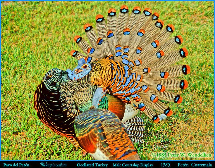 OCELLATED TURKEY Meleagris ocellata Male Courting a Female in 1985 in the Petén of Guatemala. Photo by Peter Wendelken. | OCELLATED TURKEY Meleagris ocellata. A male Ocellated Turkey is giving a Courtship Display to the female in the foreground in the Departamento de Petén in northern Guatemala in 1985.   There are two species of turkeys in the world. The Ocellated Turkey is found in the Departamento de Petén in northern Guatemala, in northern Belize and in the Yuc...