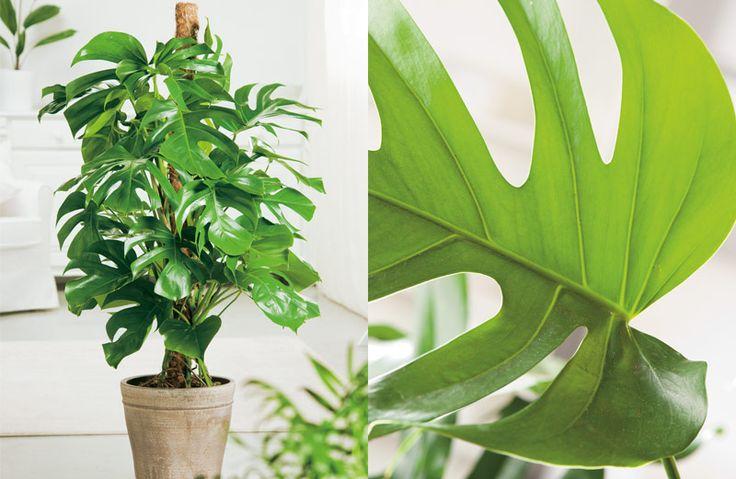 6x grote kamerplanten als blikvanger. #kamerplant #wonen #monstera #deliciosa #Gatenplant