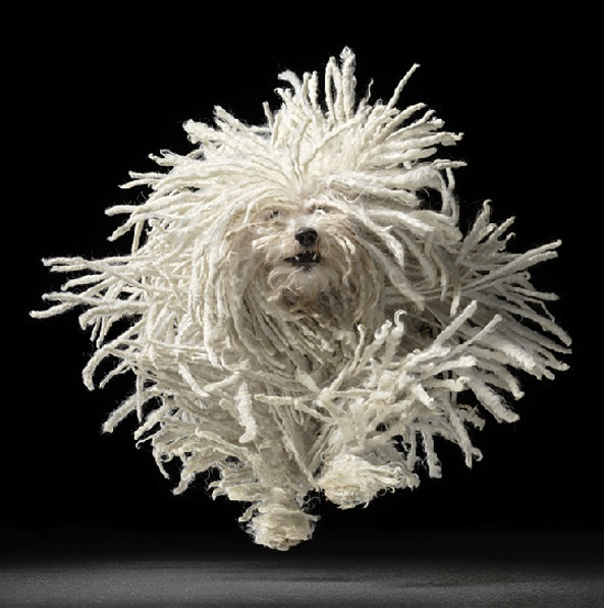 Andrew is a champion puli, a show dog who was invited to Westminster but who claims he prefers our yarn to the show ring.  Andy may not have won his class at Westminster (surely a momentary lapse on the part of the judge!), but he certainly attracted the attention of the media. Not only will he star on Dogs 101 this Saturday (7 pm on Comcast channel 30), he will also be featured in an upcoming 'coffee table' book of dogs in action by noted photographer Tim Flach.