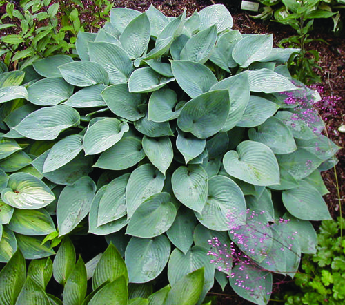 Hosta 'Halcyon'  HOSTA  SUN / LIGHT SHADE  deciduous  2x3 wide  This is one of the best blue hostas you can plant. Its compact habit and symmetrical mound of foliage give a clean and neat appearance in the garden. The bright gray-blue foliage shines in the landscape and its vigorous growth make this a good candidate for use as a mass planting. In summer short flower spikes dense with pale lavender flowers put on a show. Although no hosta is immune to slugs this one does show some resistance