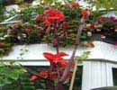S_canna_red_king_humbert-c_indian_shot_plant[2]