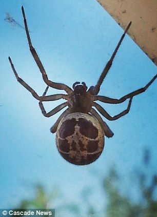 False widow spider...  The spiders are distinctive for their shiny, black flesh, bulbous bodies, thick legs and skull-like patterns