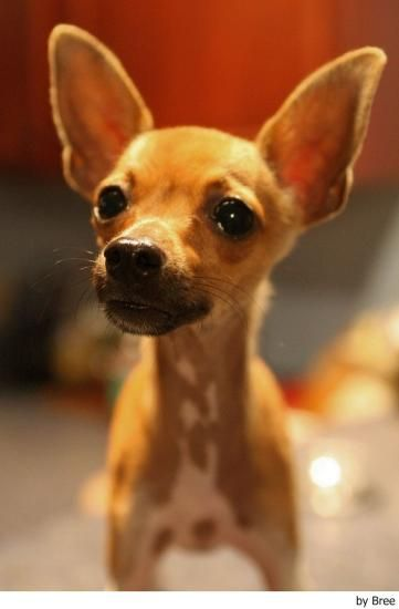 706 best Dogs images on Pinterest   Dog mixes, Chihuahua ...