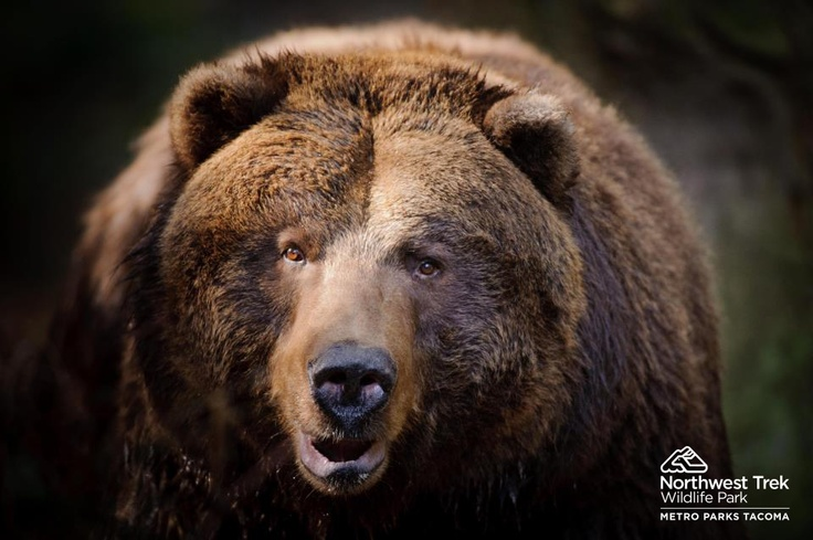 Grizzly Bear At Northwest Trek Wildlife Park In Eatonville Washington Learn More At Www