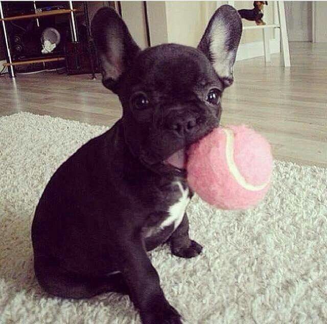 Moi j'adore le rose... Normal suis une fille...French Bulldog Puppy