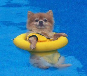 chillin ' in da pool lol......love those poms  dog pomeranian life jacket