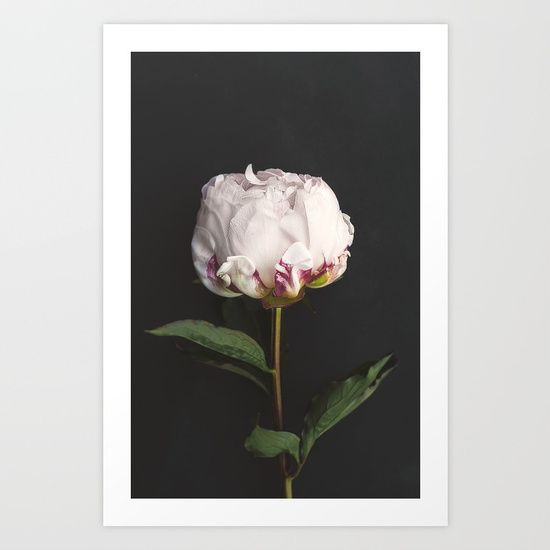 An elegant, stunning, simple peony rose flower.<br/> <br/> Such perfection and beauty in the soft pink petals.<br/> <br/> Floral magnificence.<br/> <br/> A soft black, almost chalkboard effect, background.<br/> <br/> What a delight!
