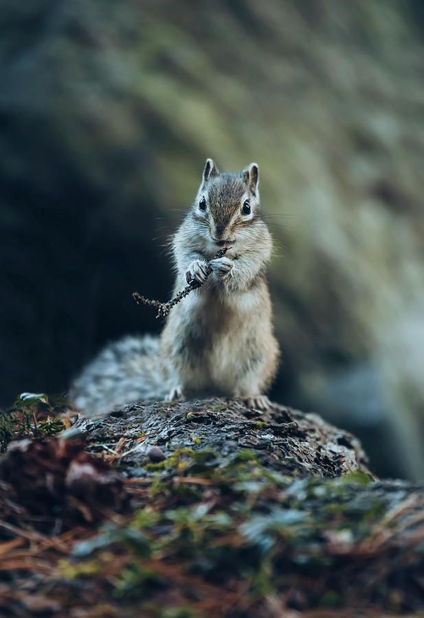Chipmunk Eating A Twig Photograph by Oksana Ariskina #OksanaAriskina #OksanaAriskinaFineArtPhotography #FineArtPhotography #HomeDecor #FineArtPrint #PrintsForSale #Chipmunk #Nature #Funny #Cute #squirrel #wildanimal