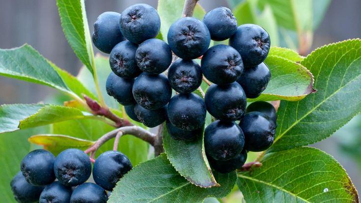 Owoce aronii to naturalna broń przeciwko najpoważniejszym chorobom cywilizacyjnym. Zawarte w nich witaminy C, E, B2, B9, PP i przeciwutleniacze potrafią skutecznie zwalczać nadciśnienie, miażdżycę, schorzenia oczu, a nawet wspierać walkę z nowotworami!