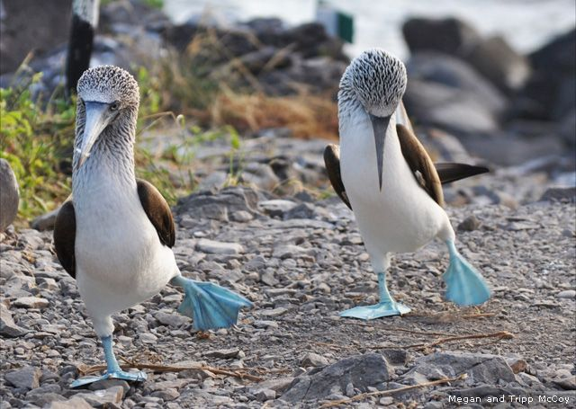 Male blue-footed boobies attract females during courtship by showing off their colorful feet with a high-stepping walk. Photography By Megan and Tripp McCoy......Dance! Boobys! Dance!!