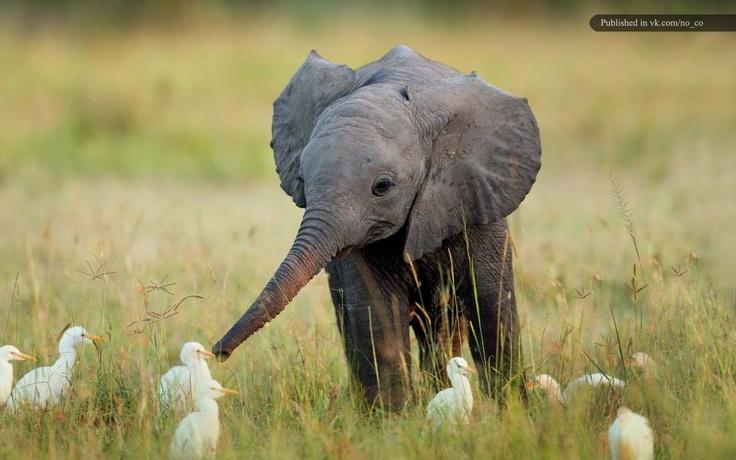 aww cute widdo baby elephant exploring his world
