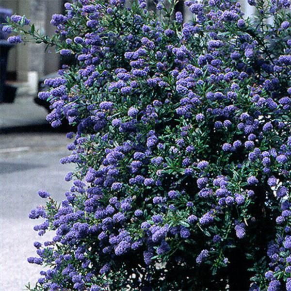 Ceanothus Skylark- Californian Lilac | Johnstown Garden Centre, Ireland