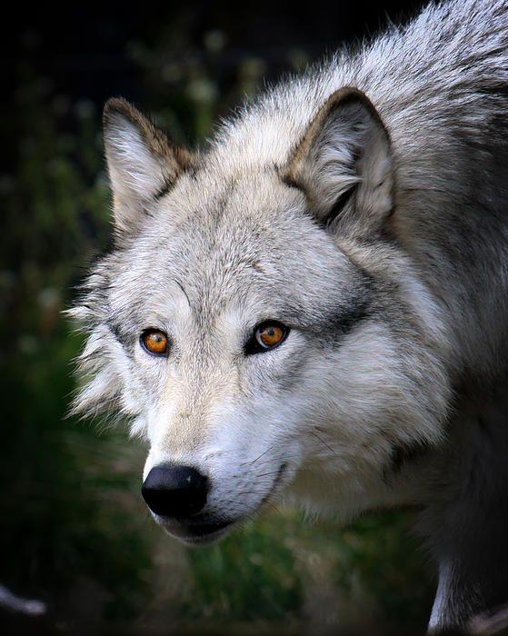 Wolf Stare by Steve McKinzie