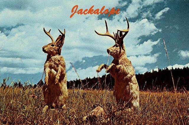 Jackalope 1