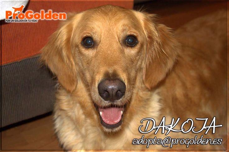 EN ADOPCIÓN!! DAKOTA, 3 años, en casa de acogida   Dakota es una perrita dulce y cariñosa, sociable con adultos y niños que convive perfectamente con otros perros. Es una perra sociable con perros tanto machos como hembras.   Contacto: adopta@progolden.es