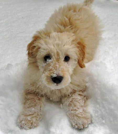 goldendoodleDoggie, Golden Retrievers, Minis Goldendoodle, Snow, Pets, Goldendoodles, Fluffy Puppies, Animal, Golden Doodles